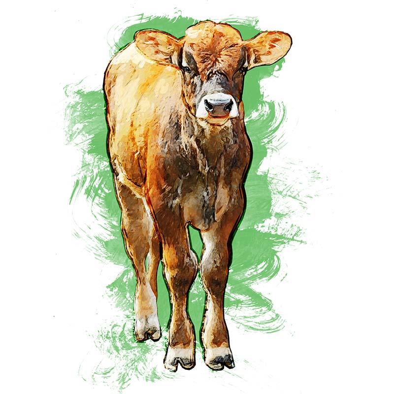18. Animal Illustration: Calf